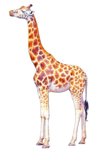 giraffe300